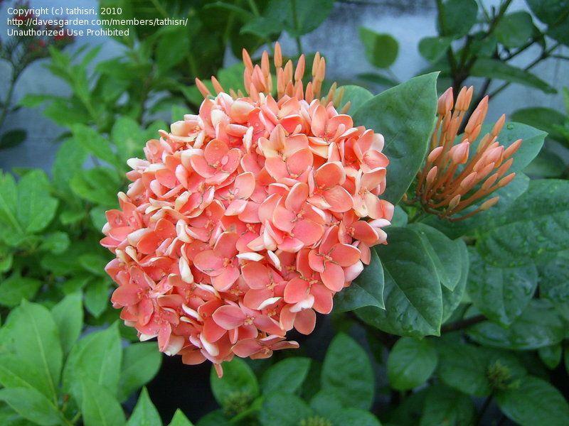 ixora singaporensis | plants | pinterest | tropical plants, plants