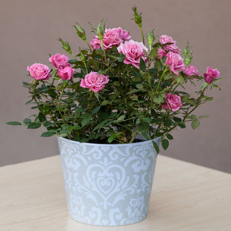 Mini Rose Plants For Tables Home By Plant Type Flowering