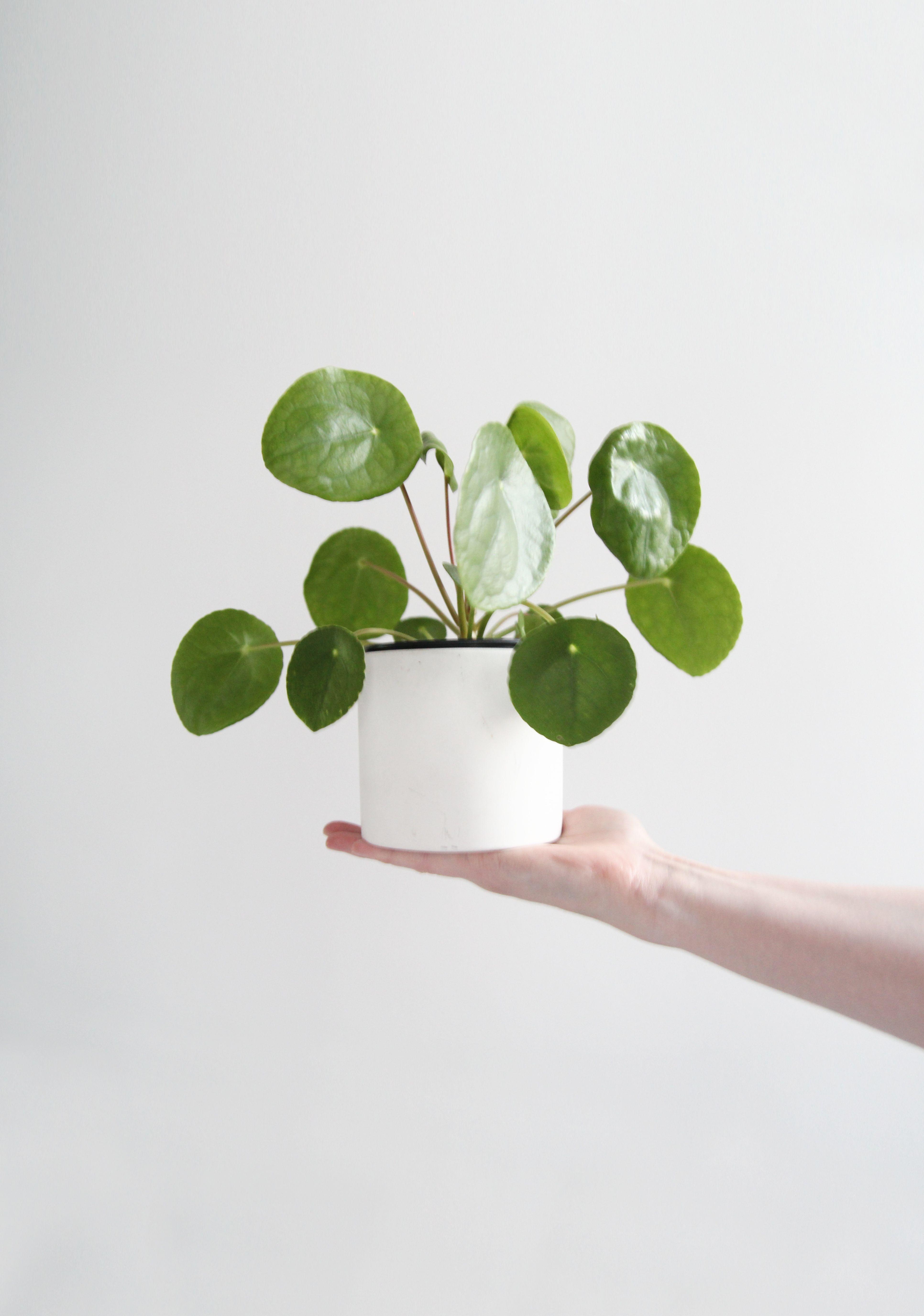 pilea peperomioides garden pinterest plantes jardinage urbain et fleur. Black Bedroom Furniture Sets. Home Design Ideas
