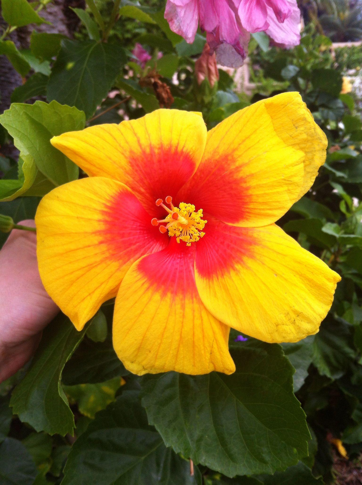 Beautiful hibiscus flower in st thomas us virgin islands earth beautiful hibiscus flower in st thomas us virgin islands izmirmasajfo Gallery