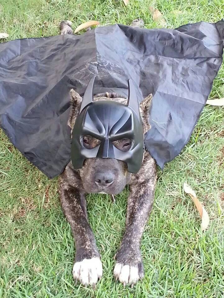 Batman Cookies Are In Order Pit Bull Pics Pitbulls Cute Dog