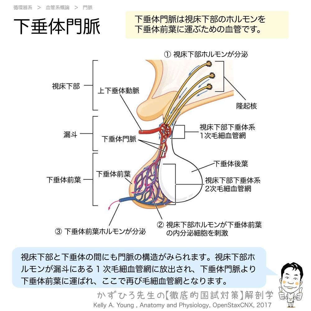覚え 前葉 下 方 ホルモン 垂体