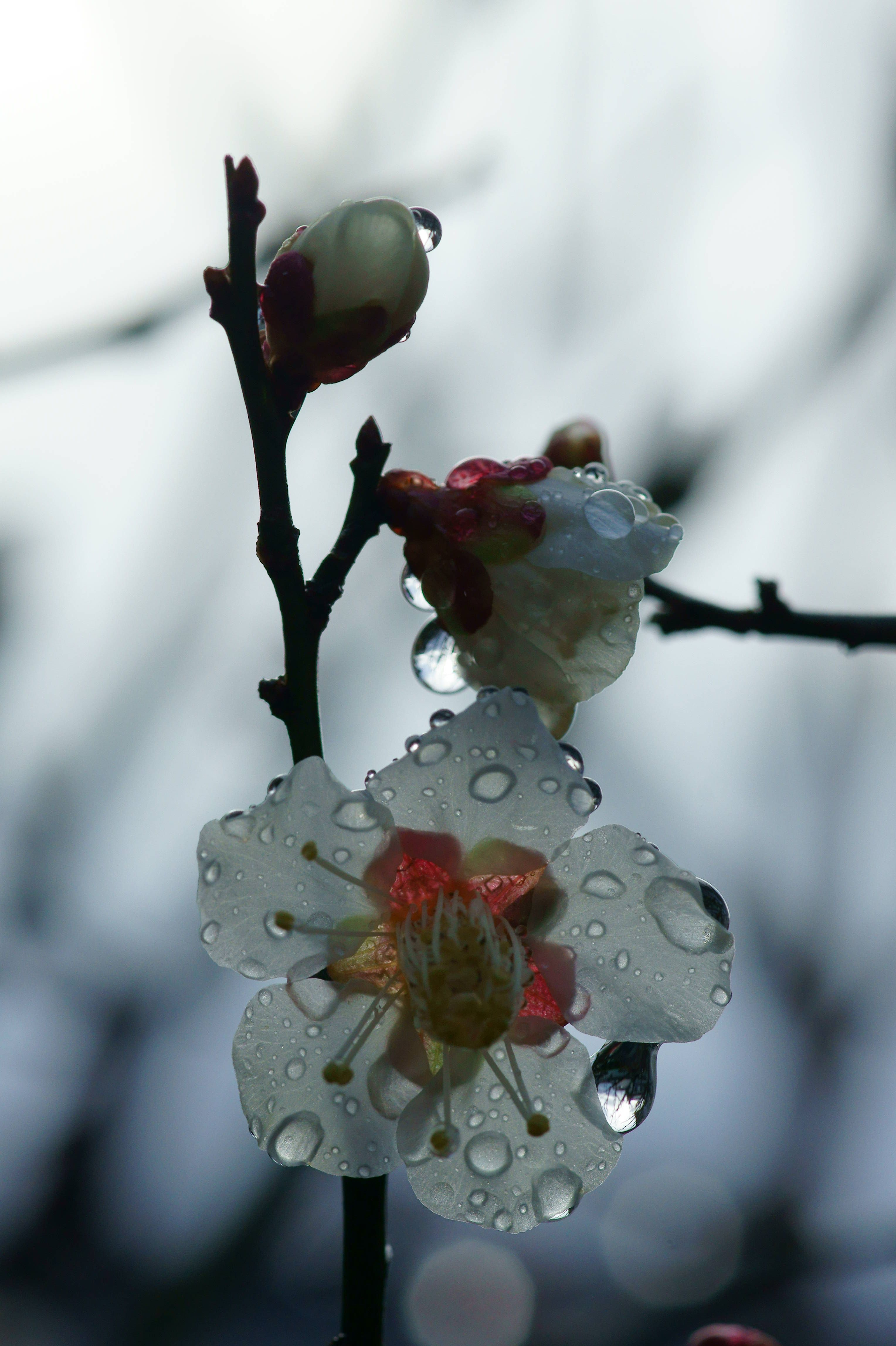 Image result for raindrops on Japanese plum blossom