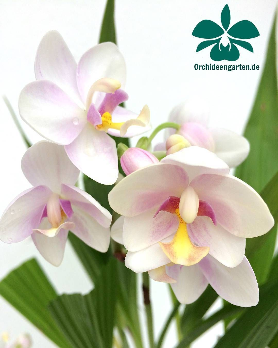 Spathoglottis Hybride Weiss Orchids Orchidee Orchideen Orchideengarten Orchidacea Orchidshare Orchidfan Asorq Beautiful Orchids Unusual Flowers Orchids