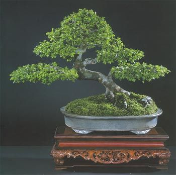 1000 images about clouds below trees on pinterest chinese elm bonsai chinese and bonsai chinese elm bonsai tree