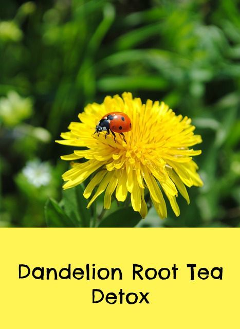 Where Can You Buy Dandelion Root Tea Bags Organic Palace Queen Dandelion Root Tea Annual Plants Planting Flowers