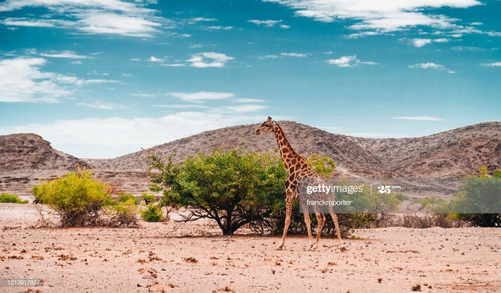 Solo Giraffe In Namibia Photography #Ad, , #sponsored, #Giraffe, #Solo, #Photography, #Namibia