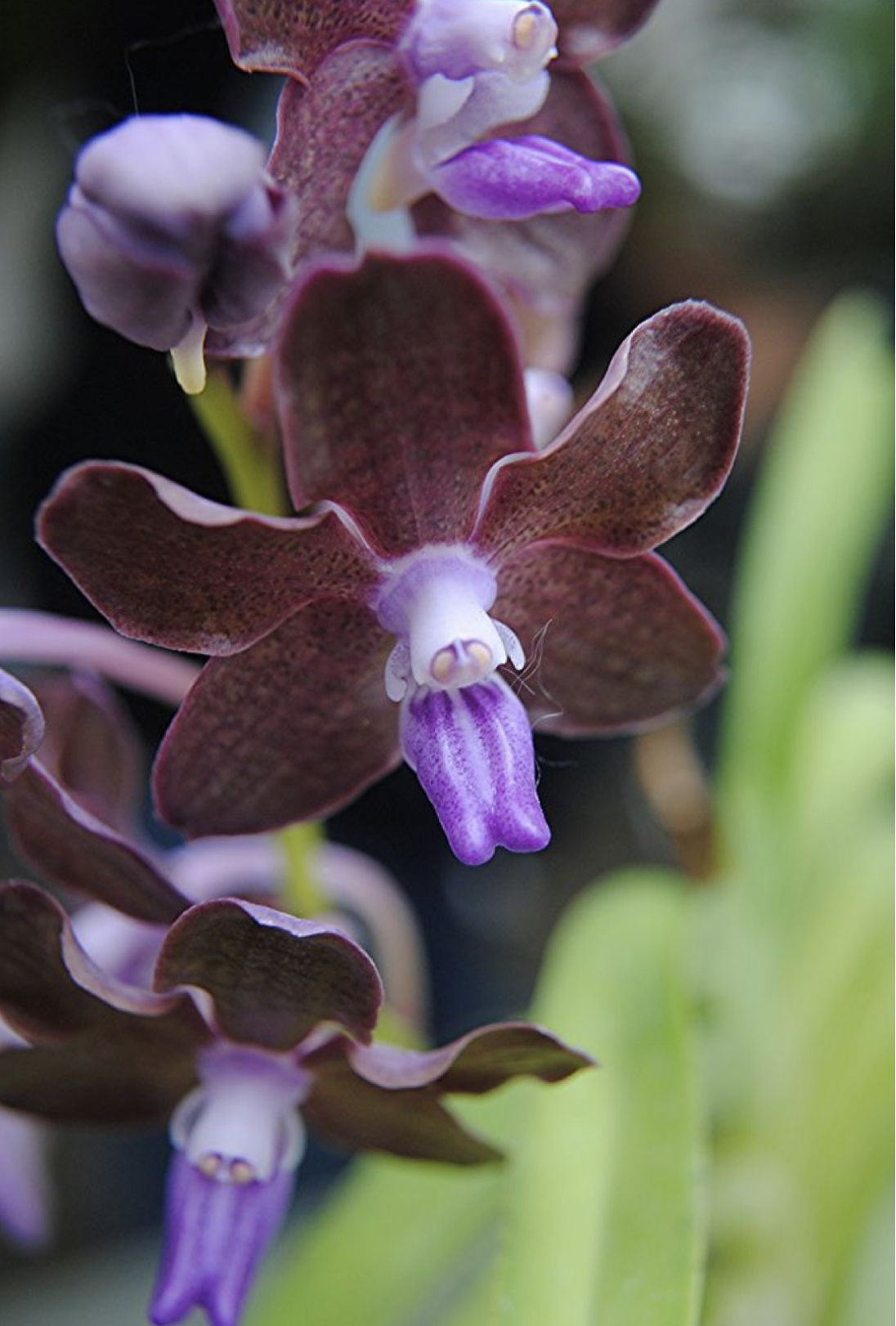 Pin By Alicia On The Beauty Of Orchids Orchid Flower Vanda Orchids Beautiful Orchids