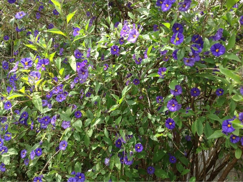 Blue Potato Bush Lycianthes Rantonnetii This Evergreen Ornamental Shrub Grows 8 To 12 Ft Tall And Wide Covered With Purple Flowers Full Sun Plants Plants