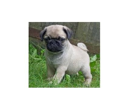 Hrirjfg Playfull Pug Puppies Ready Is A Pug Puppy In Chicago Il