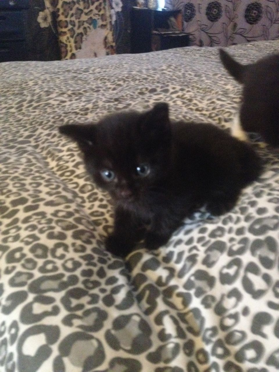 Super Friendly Long Haired Kittens For Sale Kittens Kitten For Sale White Kittens