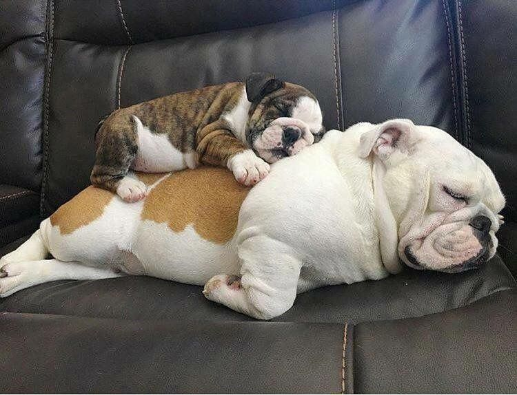 The Best Resting Place Of All Bulldogs New Puppy Sleeping
