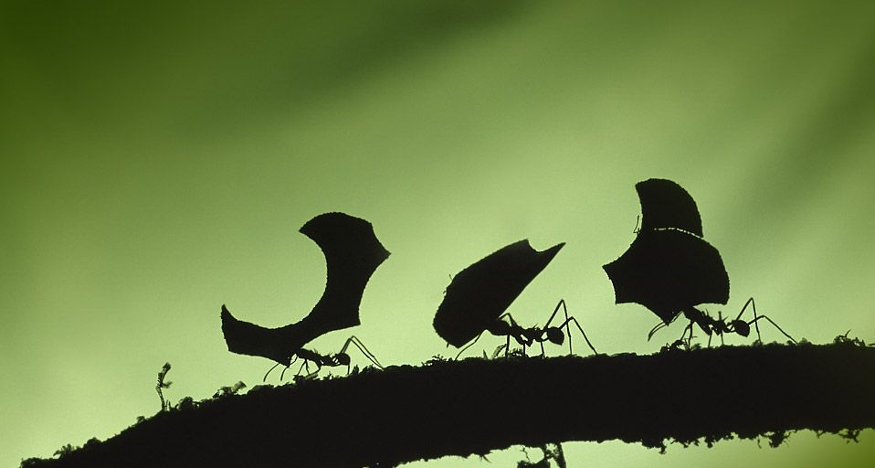 Leafcutter ants carrying leaves. Braulio Carrillo National Park., Costa Rica – Photoshot/age fotostock
