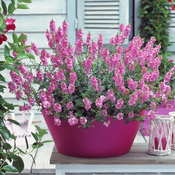 Buy diascia diascia 39 39 blush pink 39 sundiascia series for Coltivare more in vaso