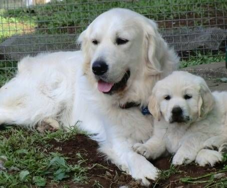 English Cream Retrievers