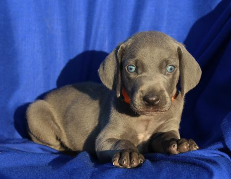 Weimaraner Puppy For Sale In Harrison Ar Adn 38696 On