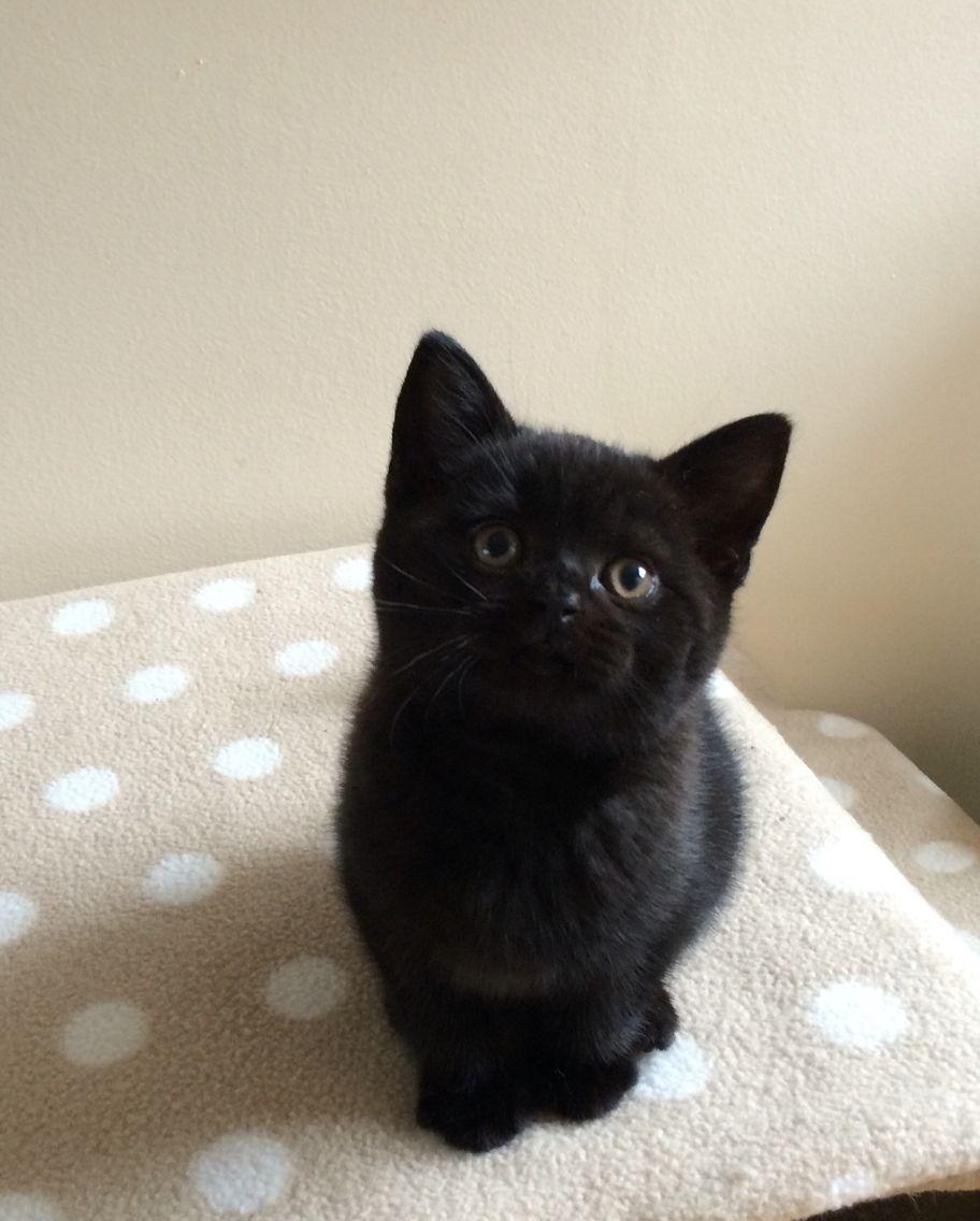 British Shorthaired Black Kitten 8 Weeks Black Kitten British Shorthair Cats British Shorthair Kittens