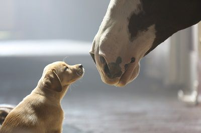 Watch This: 'Puppy Love' Budweiser Commercial Best Part of the Superbowl Game.