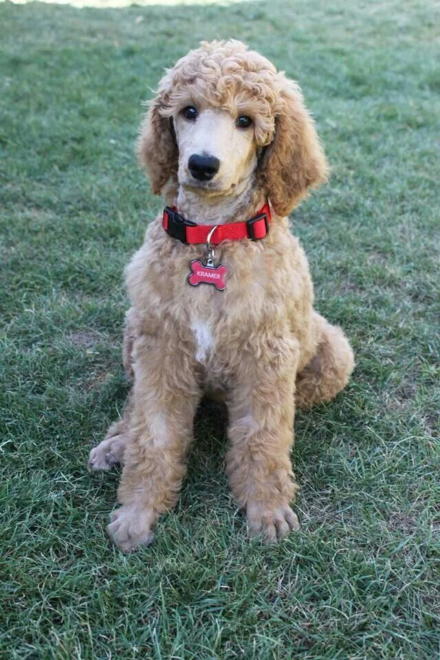 Kramer Poodle Dogs Puppies