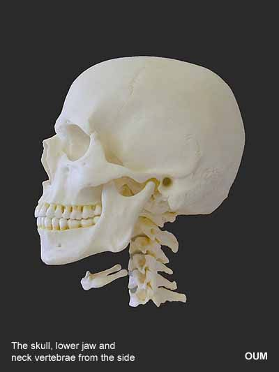 human skull - profile | human anatomy | pinterest | animals, Skeleton