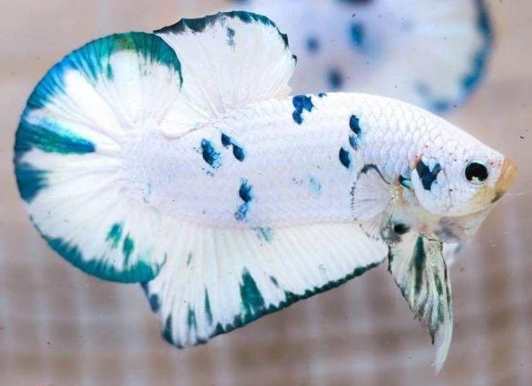 Bettafish Aquarium Fish Fishtank Tropicalfish Freshwater Bonsai Aquariumfreshwater Aquariumfish Tank Betta Fish Tank Betta Fish Types Betta Aquarium