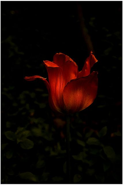Dark Red Tulip Red Tulips Photography Red Tulips Red Flowers