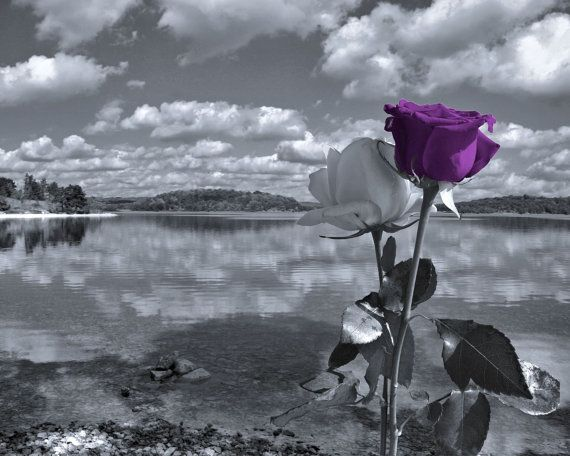 Gray Purple Rose Flowers Photography Lake Clouds Landscape