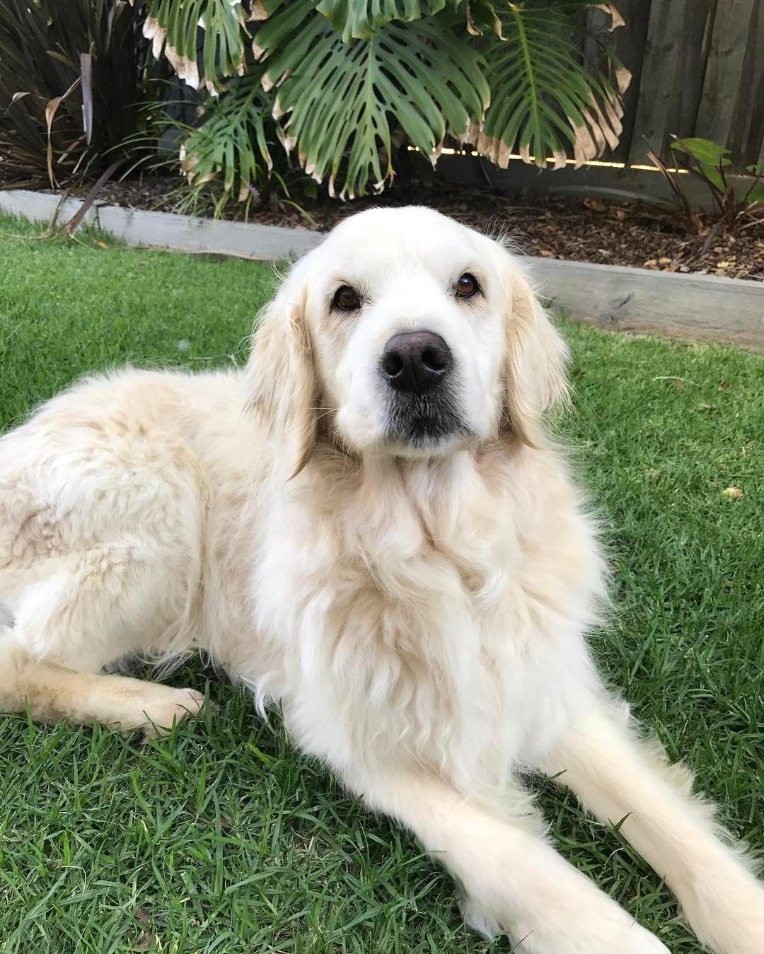 Golden Retriever Noble Loyal Companions Baileys Dog And Pup
