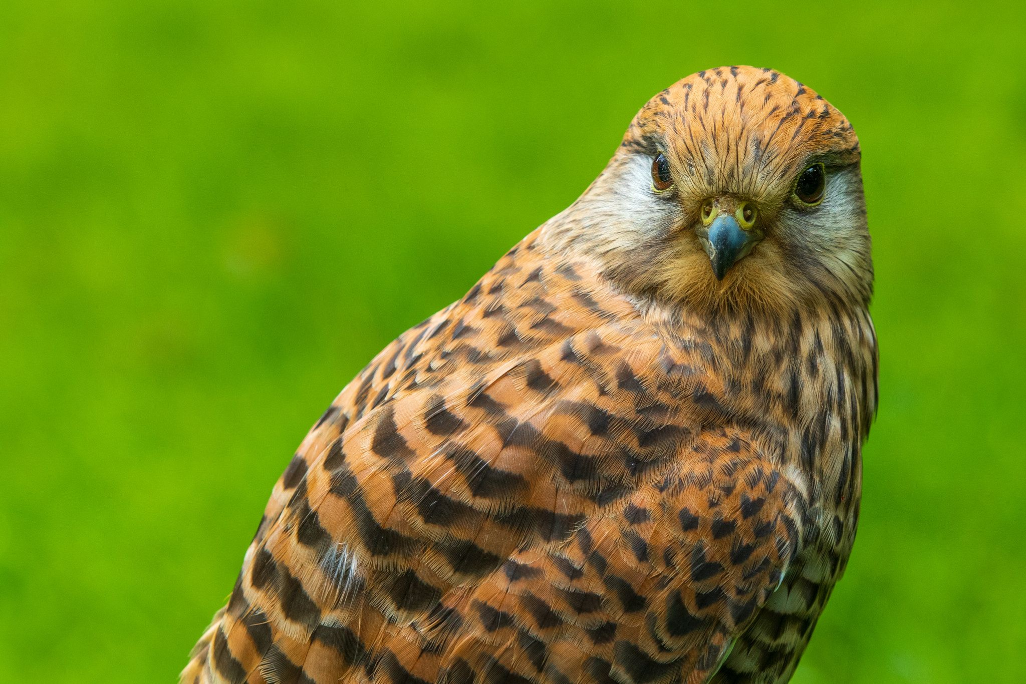 kestrel The common kestrel (Falco tinnunculus) perched
