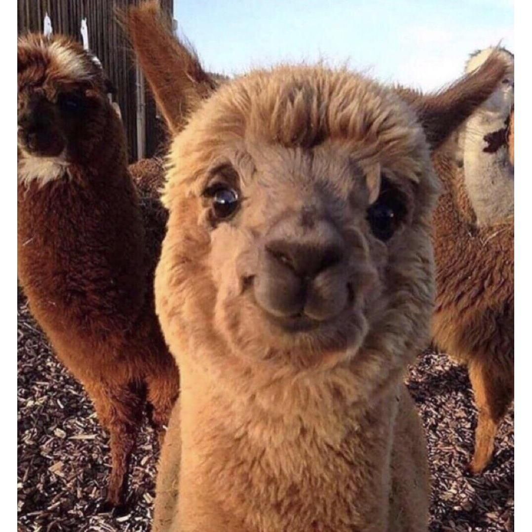 This Alpaca Is Adorable Funny Animal Pictures Cute Baby Animals Cute Animals