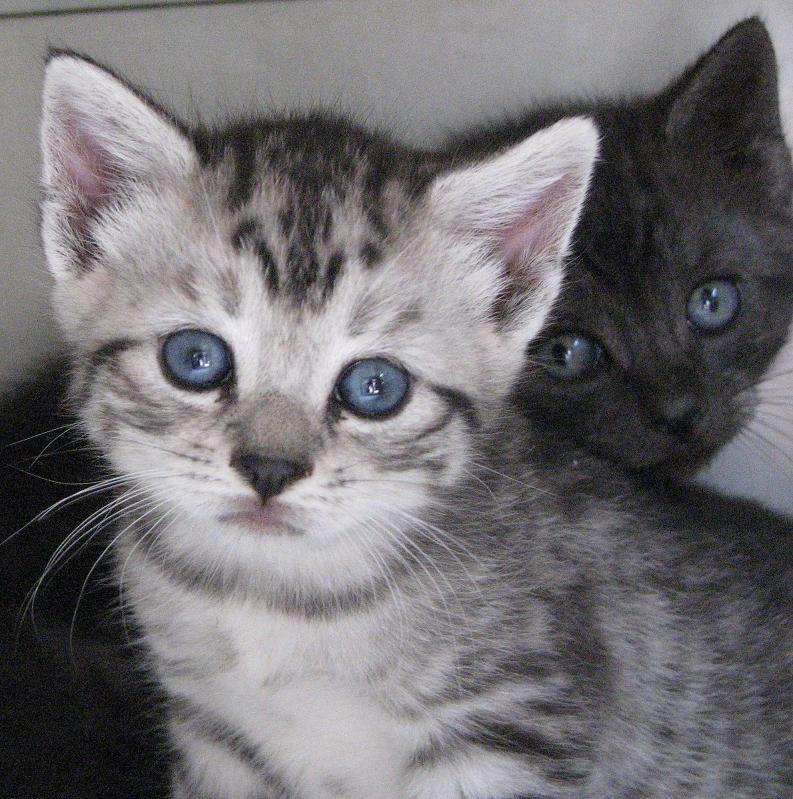 Beautiful Manx Kittens. Manx kittens, Cute animals, Kittens