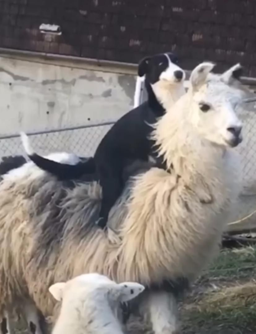 Here's a photo of a dog riding a llamahttps//i.redd.it