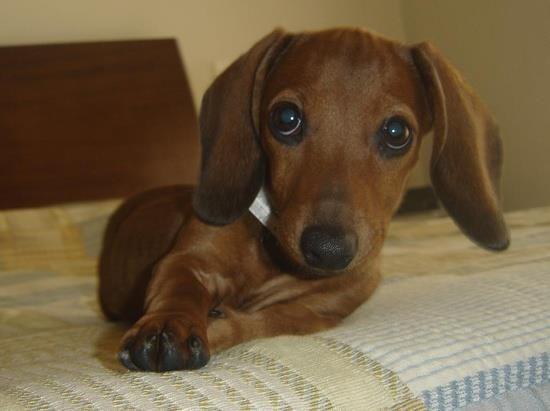 Puhwease Can I Sleep Wif You Mama Dachshund Clever Dog Dachshund Breed
