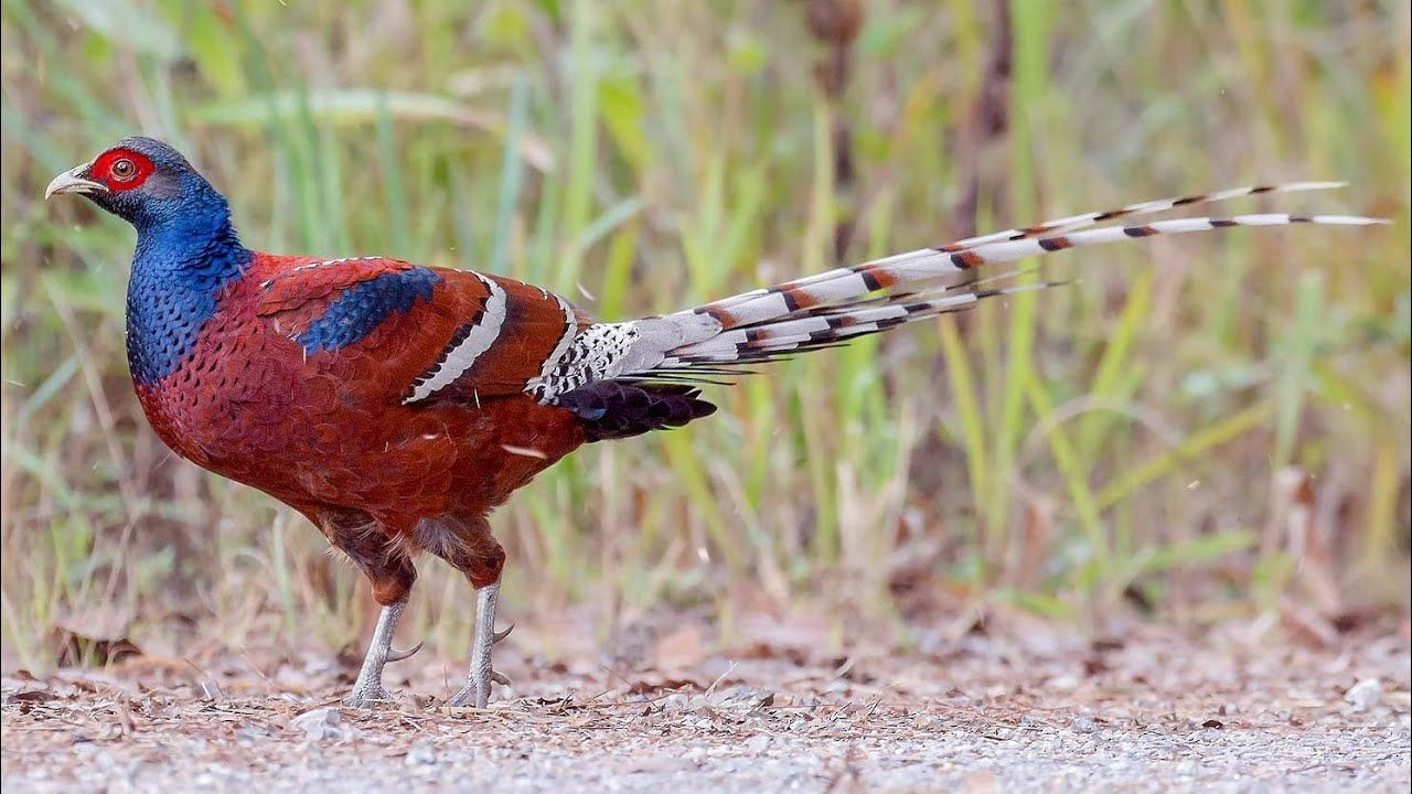 Mrs Hume's pheasant (Syrmaticus humiae) in 2020 Male