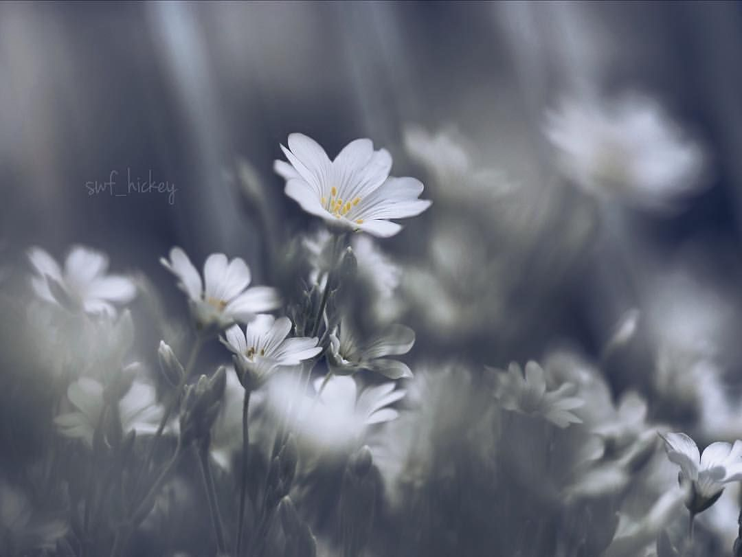 """좋아요 1,697개, 댓글 8개 - Instagram의 TRANSFER VISIONS Flowers(@tv_flowers)님: """"Presents . Featured Artist: @swf_hickey Congratulations! ________________________________________ ▪…"""""""