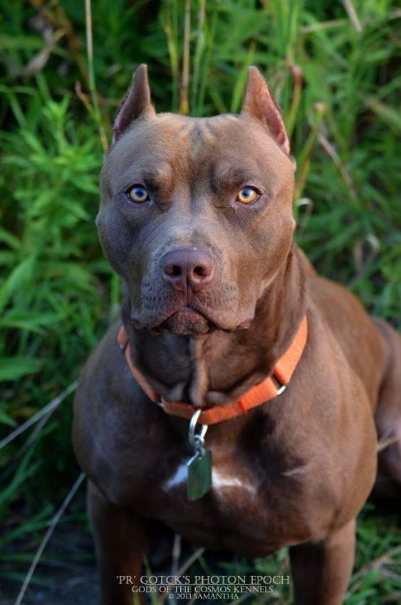 Rednose Pitbull Pitbull Terrier American Pitbull Terrier Dog Breeds