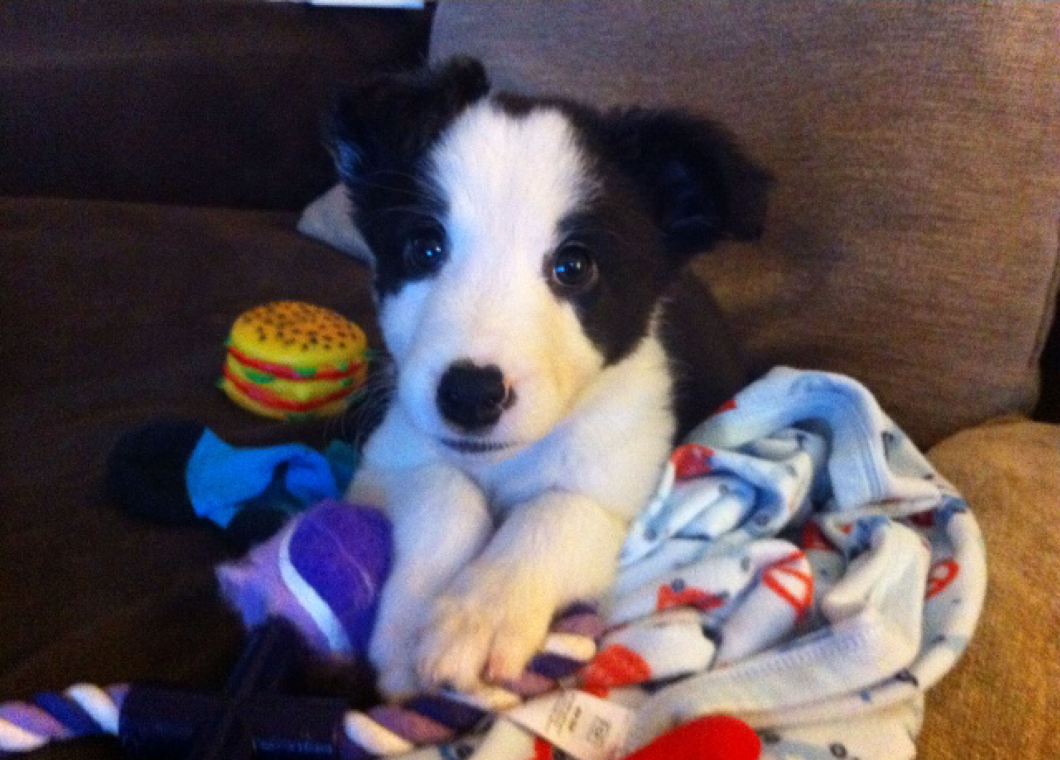 Pin by yasmine morris on border collie puppy 8 weeks so cute border collie puppies border collies border collie pups border collie nvjuhfo Choice Image