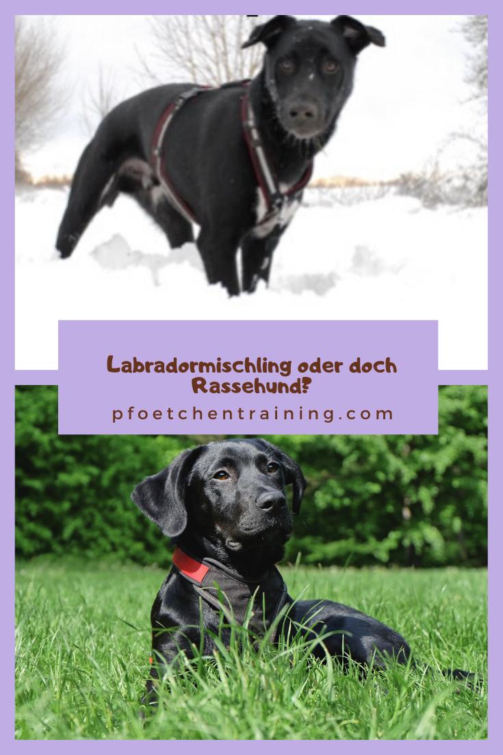 Darum Solltest Du K Einen Ca De Bestiar Haben Pfotchentraining Hunde Mischlinge Labradormischling Labrador Mischling