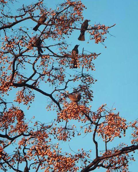 おはよーございます。  ヒヨドリ群が ガッツリガッツリの朝食中で それも絵になるアオゾラ朝。  気持ちいい1日を。    #sky #winter #bird #空 #冬 #鳥