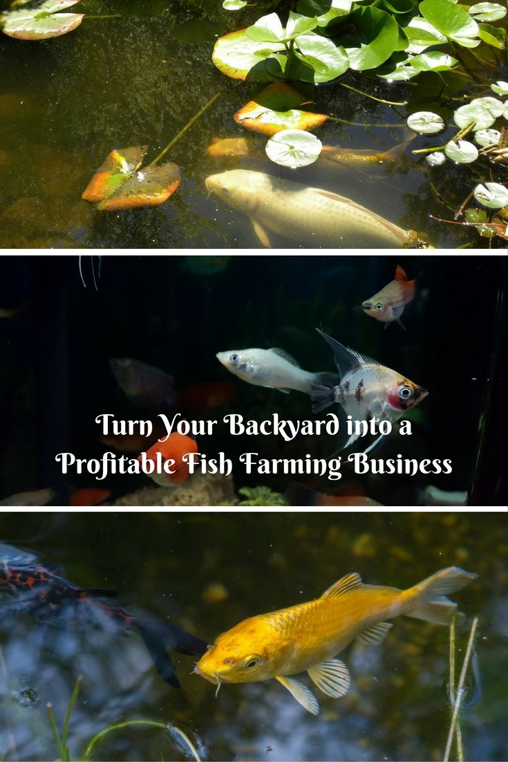 Backyard Fish Farming Can Be A Profitable Business However You Do Need Some Special Skills And Knowledge About Fish Here Are Some Tips To Help Get You Backyard fish farming for profit