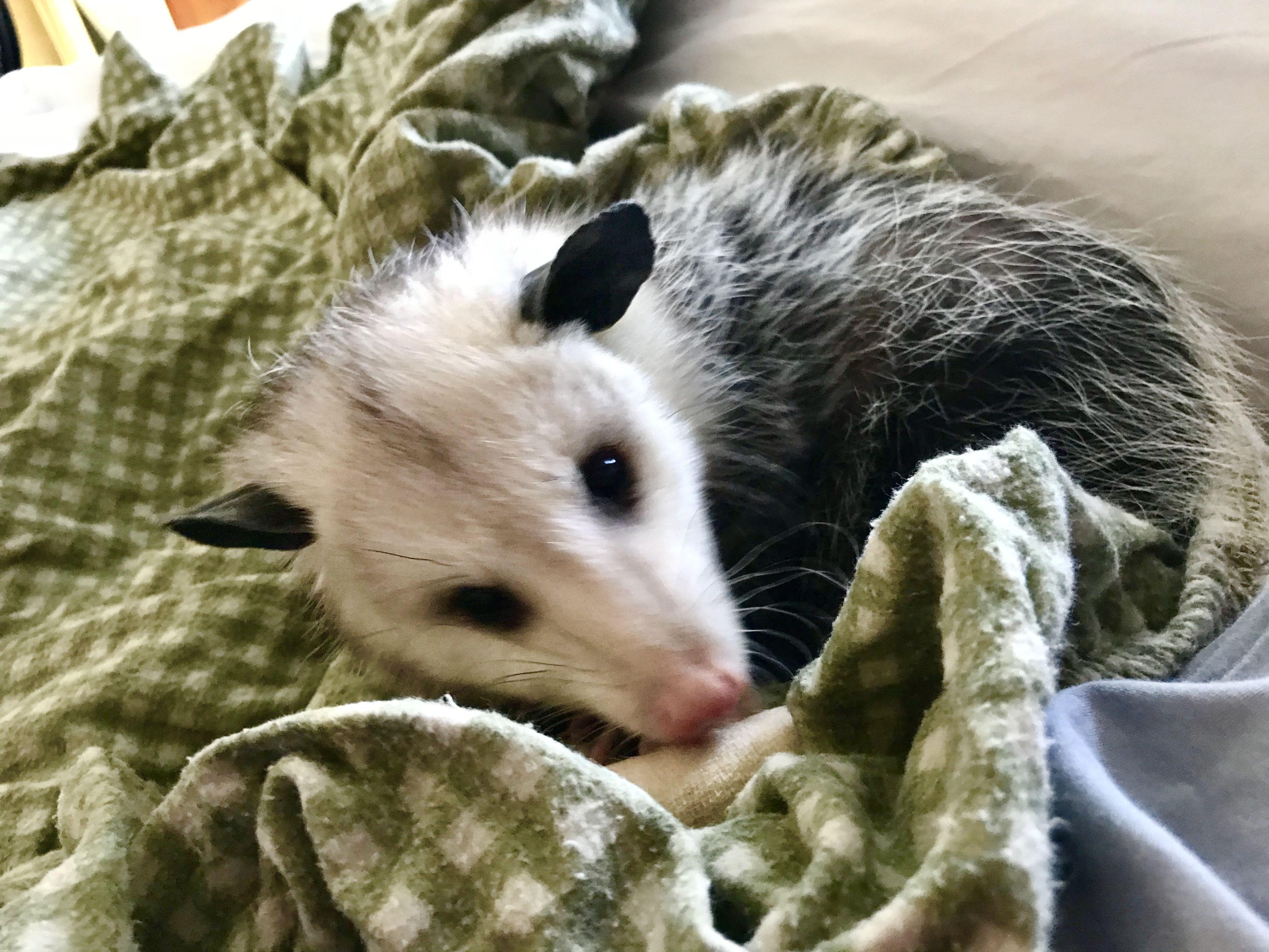 Big Little Opossum