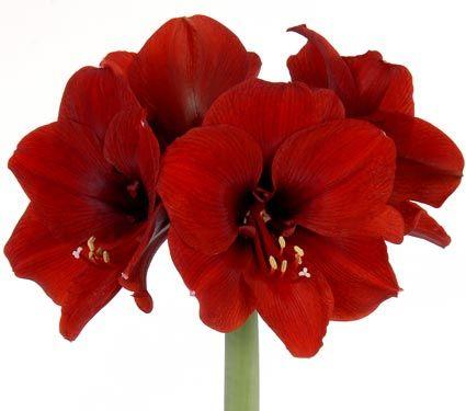 Amaryllis The World S Flowering Holiday Favorite Elegant Wedding Flowers Fall Wedding Flowers Cheap Wedding Flowers