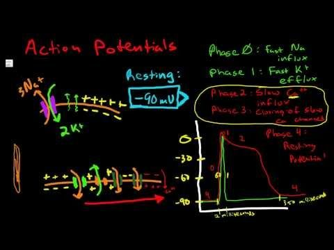 Cardiac Action Potential - Pacemaker Cells in The SA Node - Myocardial Conduction Cells - YouTube