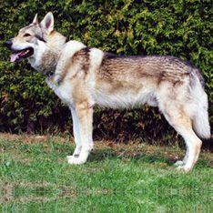 Dog Breeds Types Of Dogs Dog Breeds Big Dogs Herding Dogs