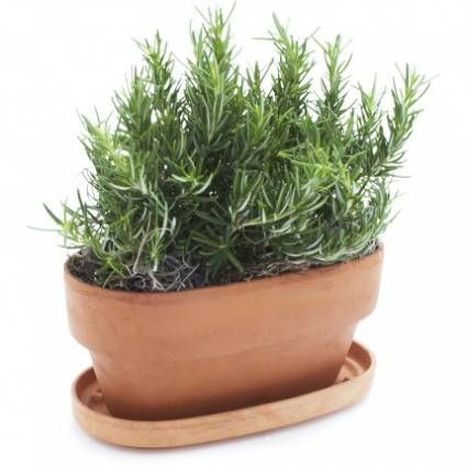 Rosemary Windowsill Plant Get Free Shipping on all Coffee and