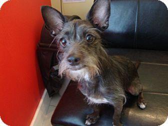 8/21/14 Philadelphia, PA - Terrier (Unknown Type, Small)/Chihuahua Mix. Meet Rex, a dog for adoption. http://www.adoptapet.com/pet/11419818-philadelphia-pennsylvania-terrier-unknown-type-small-mix