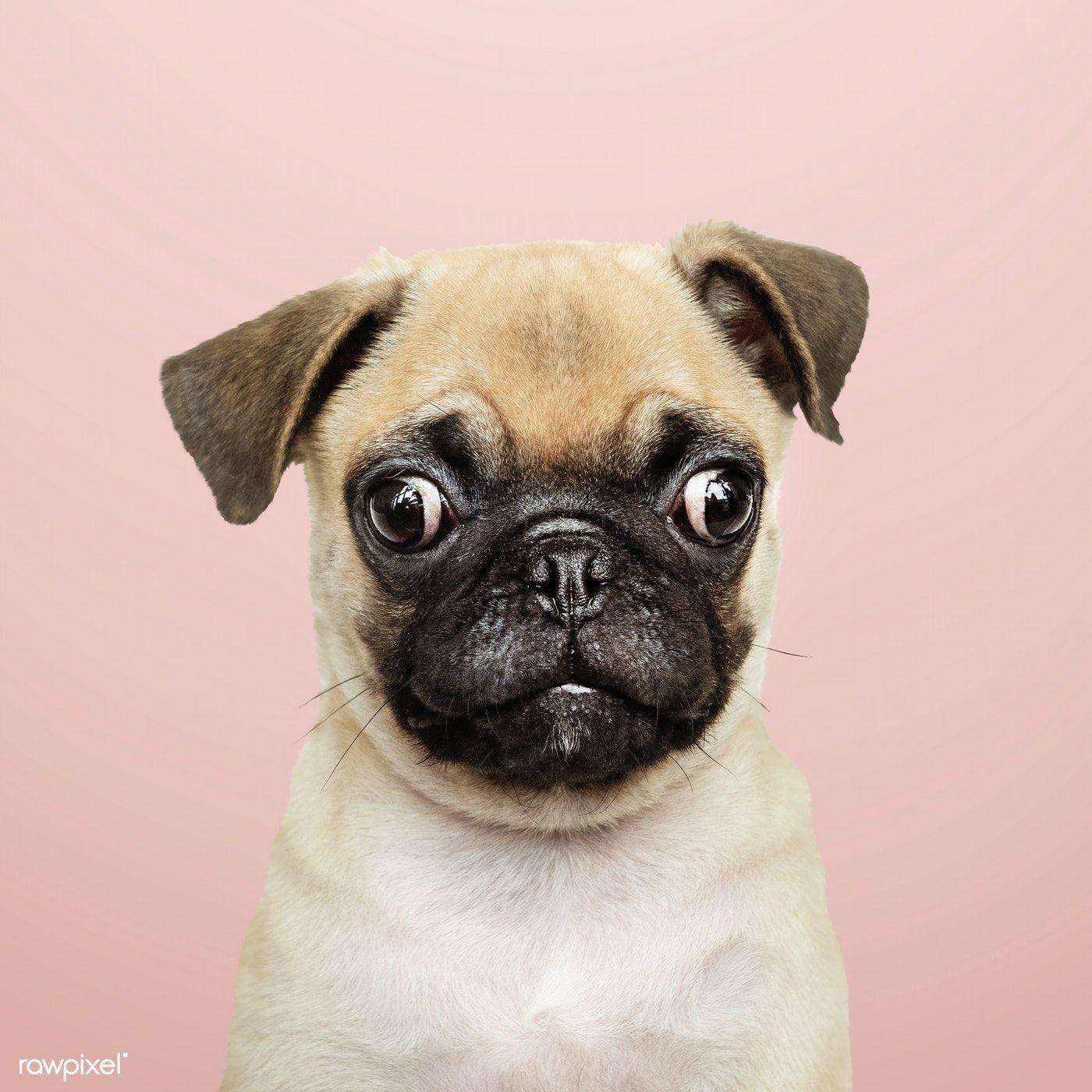 Download Premium Image Of Adorable Pug Puppy Solo Portrait 542162