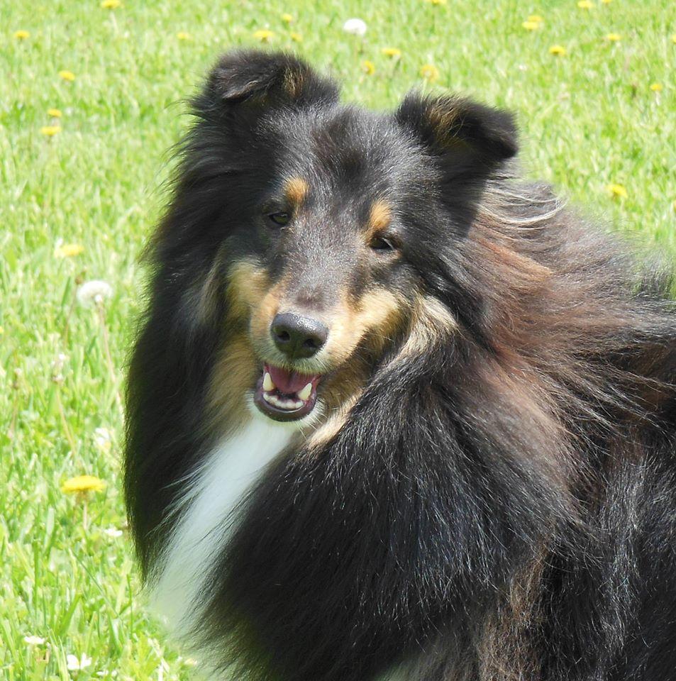 German Shepherd Puppies in Tennessee |Tri Color German Shepherd Breeders