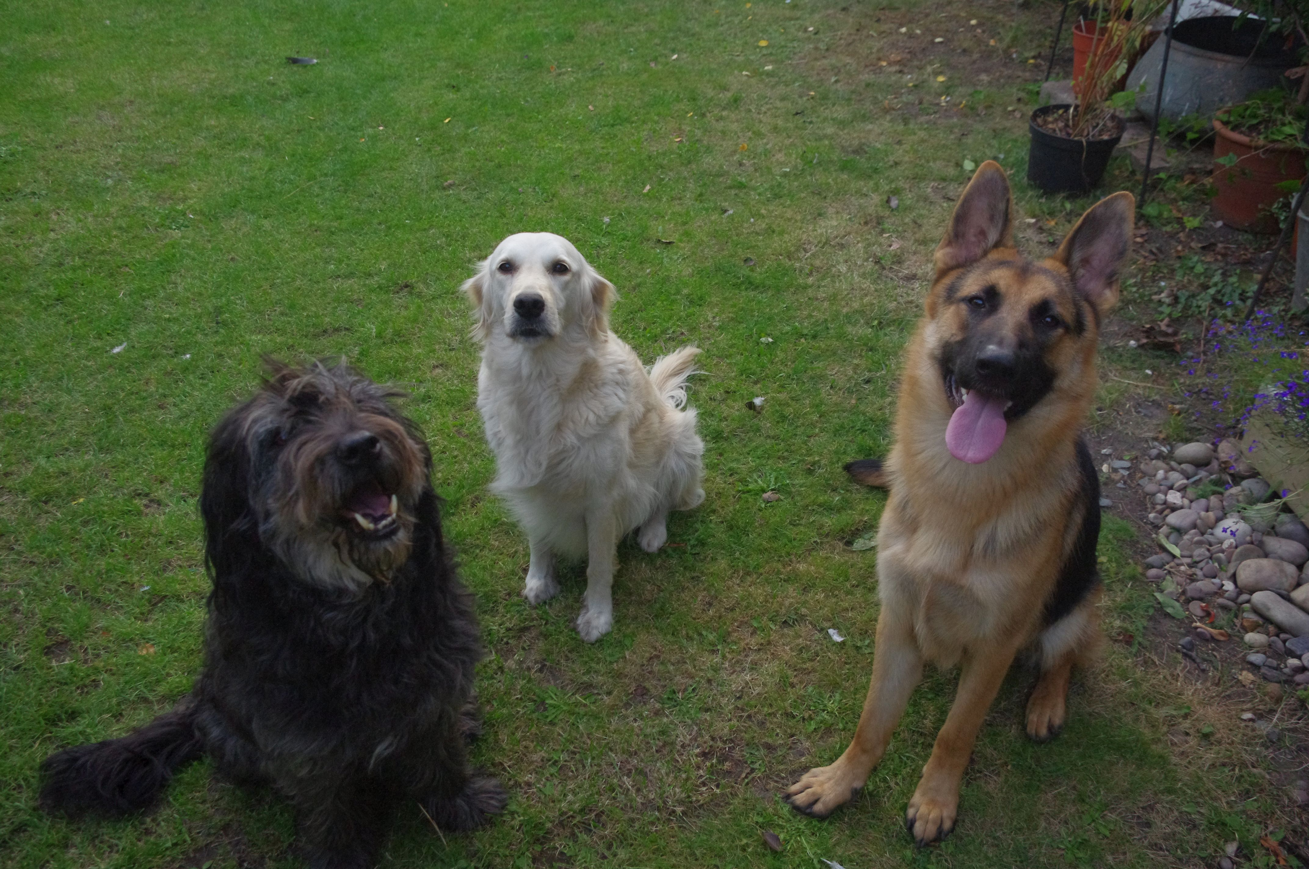 My dogs Orla Golden re...