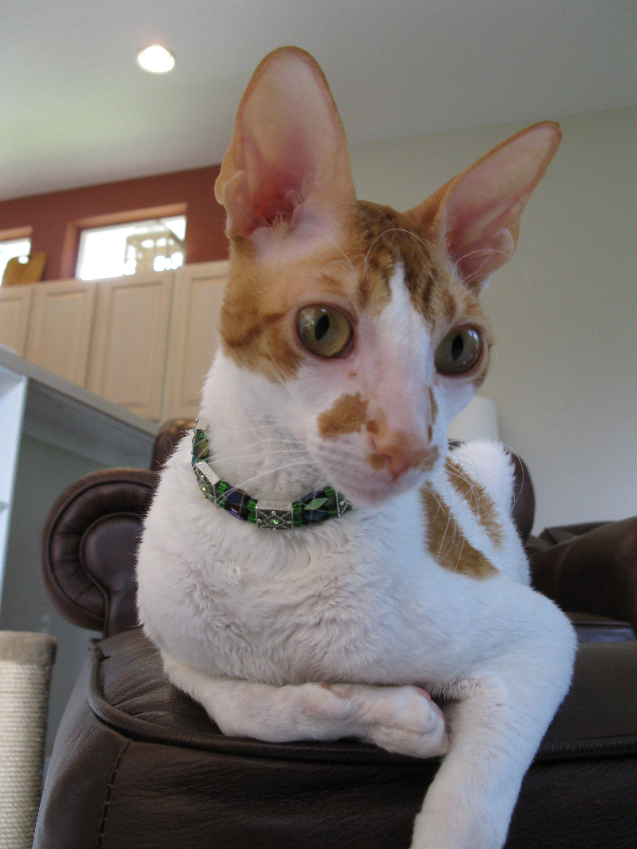 I'm looking mighty fine Rare cats, Rex cat, Cornish rex cat